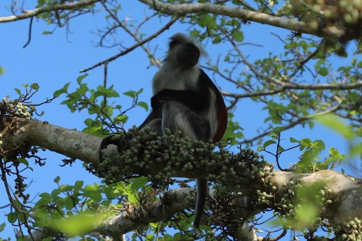 cropped colobus