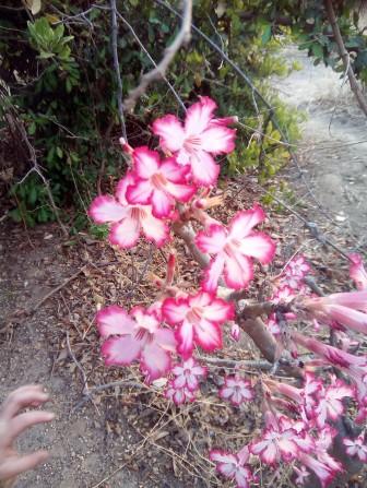 liwonde flower